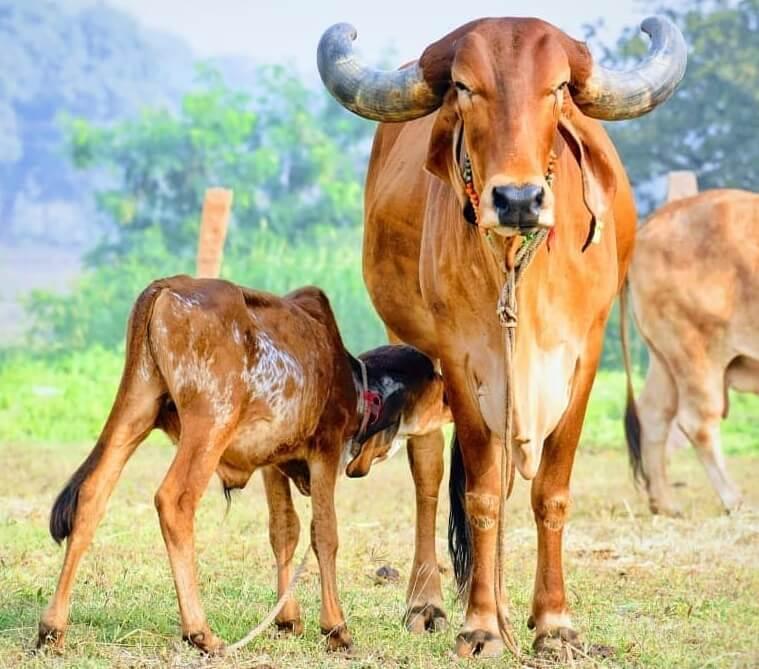 gir-cow
